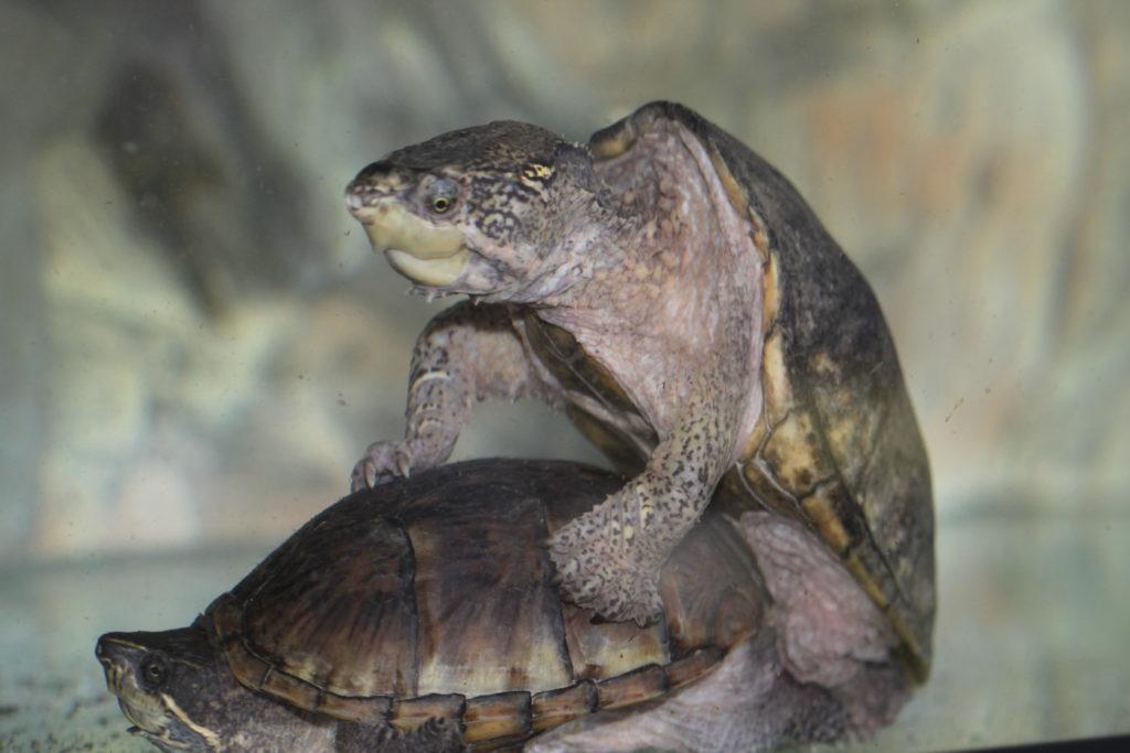 Schildkröten Penis
